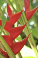 Heliconia Field
